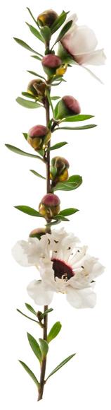 Blüten der Südseemyrte (Manuka)